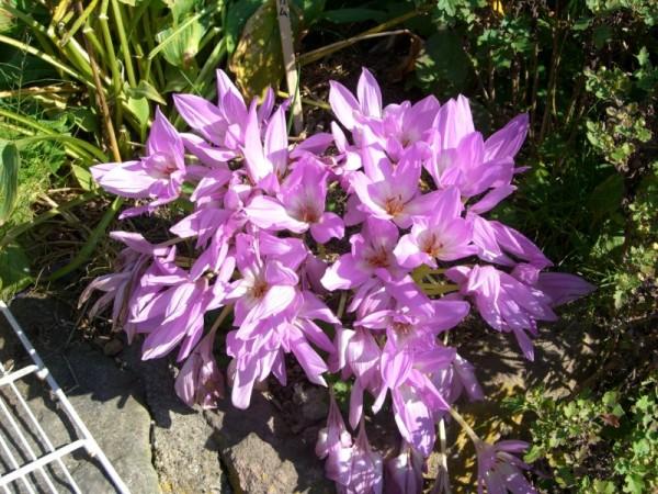 大内宿 道に咲いている花